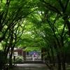 新緑トンネル_高円寺