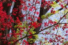 春紅葉と若楓_蚕糸の森公園