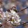 新宿御苑に春が来た