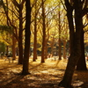 イチョウ_代々木公園