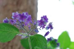 紫陽花_西新宿