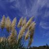 空を掃くパンパスグラス_神代植物公園