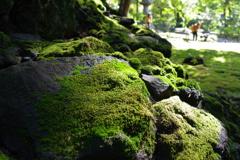 苔_旧古河庭園