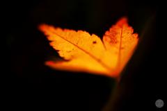 一葉の輝き