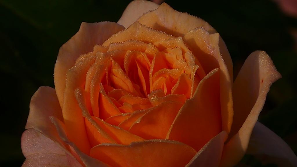 薔薇の調べ