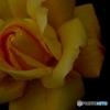 バラ 今が盛り 雨