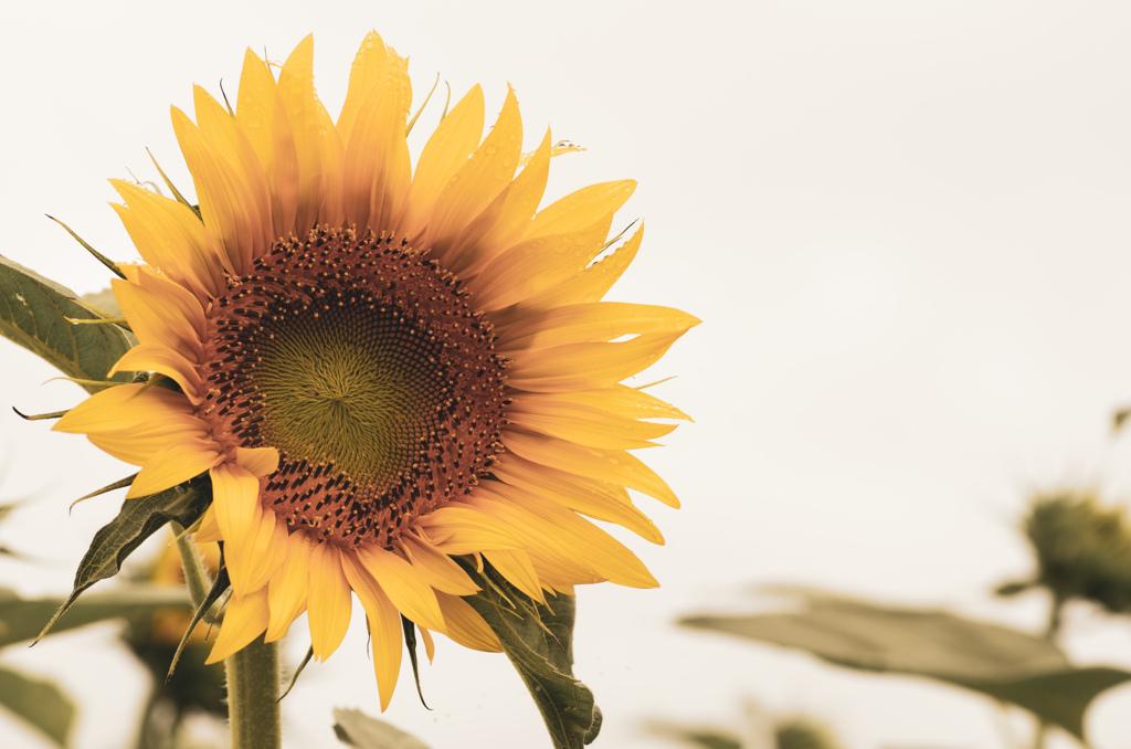 哀・向日葵