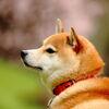北国にも春が来た(桜と柴犬)