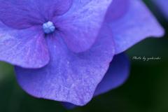 額紫陽花「スカイブルー」