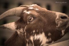 権現堂公園の山羊Ⅱ