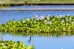 布袋葵の池を飛ぶ燕