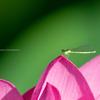 蓮の花の上で。。