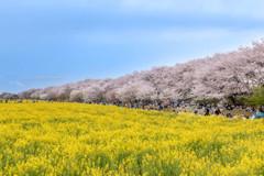 菜の花畑と桜