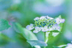 権現堂公園の紫陽花Ⅱ