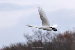 多々良沼の白鳥Ⅱ