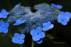 玉敷公園の紫陽花11