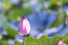 蓮の蕾とコオニヤンマ