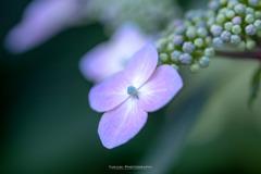 能護寺の紫陽花Ⅶ