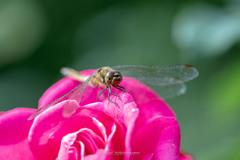 薔薇とトンボ
