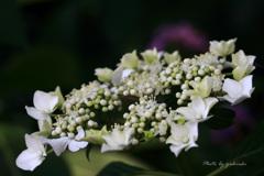 玉敷公園の紫陽花3