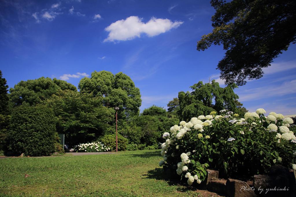 玉敷公園の紫陽花14