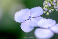 能護寺の紫陽花Ⅸ