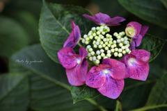 玉敷公園の紫陽花5