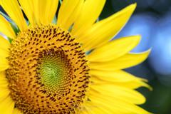 SunflowerⅠ