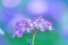 権現堂公園の紫陽花Ⅴ