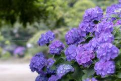 薄紫の想い