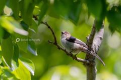 エナガ幼鳥Ⅰ