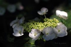 玉敷公園の紫陽花6