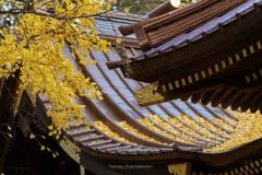 玉敷神社の銀杏Ⅱ