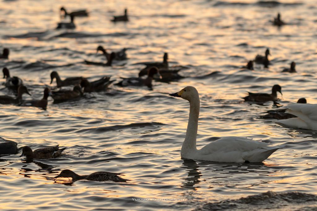 夕陽の中の白鳥