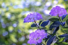 木漏れ日の中の紫陽花