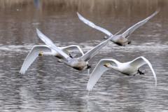多々良沼の白鳥Ⅰ