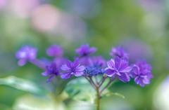 権現堂公園の紫陽花Ⅷ