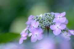 能護寺の紫陽花Ⅹ
