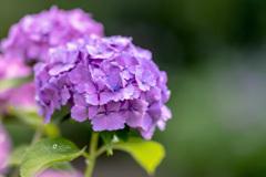Purple hydrange