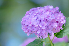 権現堂公園の紫陽花Ⅰ