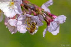 桜とミツバチ
