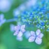 権現堂公園の紫陽花Ⅳ