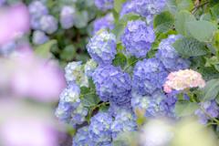能護寺の紫陽花Ⅷ