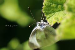 秋のモンシロチョウ