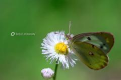 この蝶は?