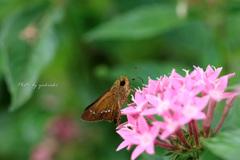 吸引中のセセリ蝶Ⅰ