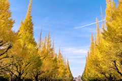 神宮外苑の銀杏並木Ⅳ