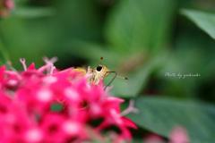 吸引中のセセリ蝶Ⅱ