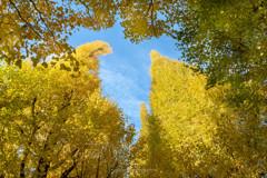 銀杏並木から見上げる秋の空