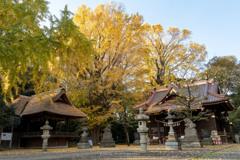 玉敷神社の銀杏Ⅰ